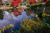 円山公園 瓢箪池畔のツワブキ