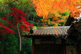 京都長楽寺 客殿の時雨楓