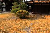 大谷祖廟 敷き銀杏