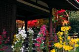 法金剛院 嵯峨菊と紅葉