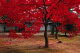 広隆寺講堂前の紅葉