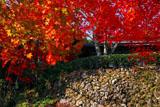 京都勝持寺 紅葉の桜ヶ丘