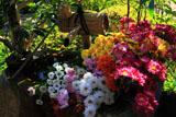 京都正法寺 手水鉢の菊花