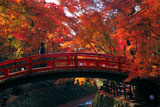 北野天満宮 紅葉の鶯橋を渡る御婦人