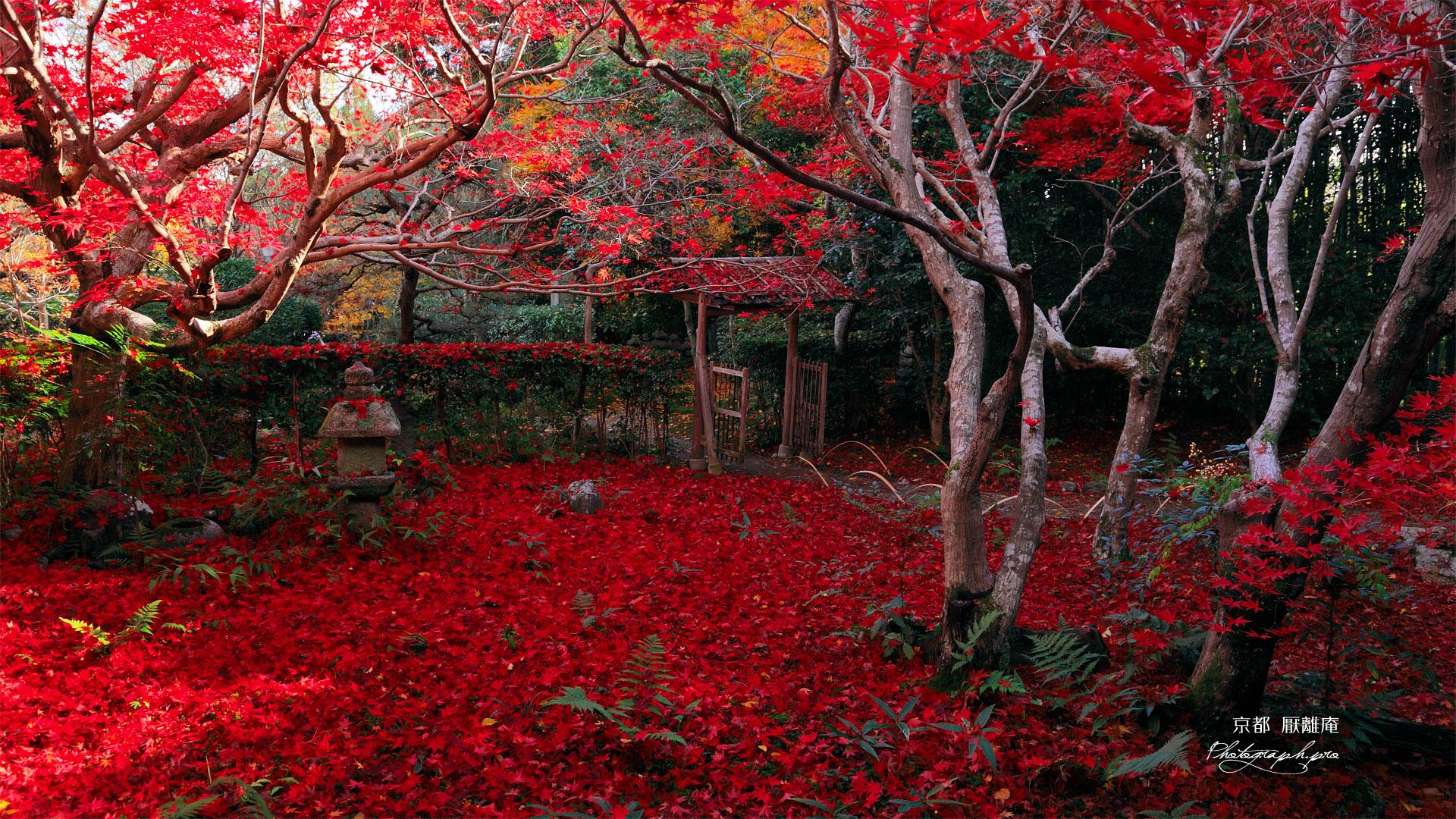京都厭離庵 庭園の散り紅葉 ...
