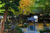 藤沢常立寺の散り黄葉