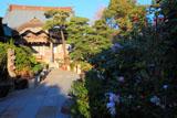 鎌倉本龍寺の山茶花