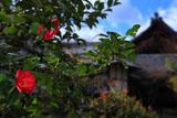 京都等持院の山茶花