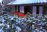 圓光寺 淡雪の山茶花
