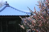 逗子法性寺 ウメ咲く祖師堂