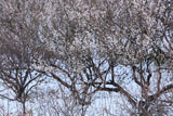 十二所果樹園 雪景色の梅園