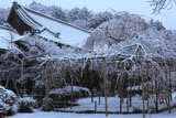 雪化粧の毘沙門枝垂桜