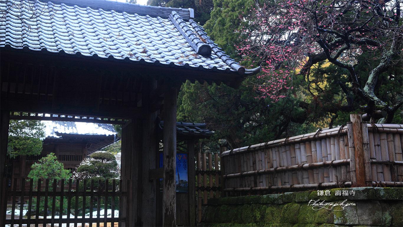 寿福寺 斑雪の境内と紅梅 壁紙