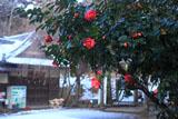 鎌倉葛原岡神社 ツバキと雪化粧した神輿庫