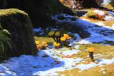 海蔵寺 斑雪とフクジュソウ
