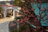 鎌倉宮 紅梅と一の鳥居
