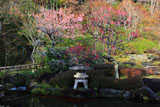 長谷寺妙智池のウメ