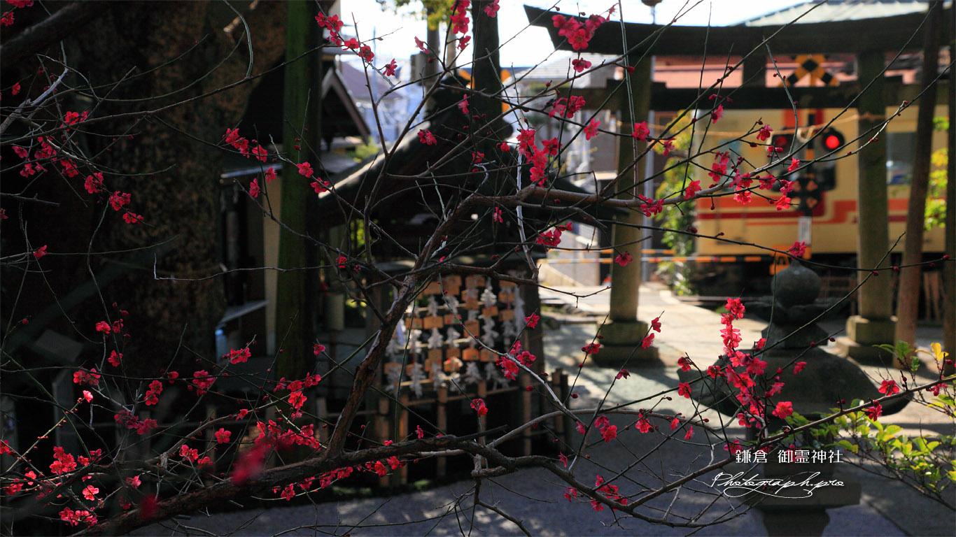鎌倉御霊神社 ウメ越しの江ノ電 壁紙