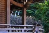 鎌倉熊野新宮 本殿と白梅