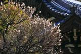 龍口寺 白梅と鐘楼