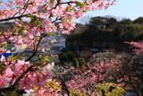 鎌倉 宝善院の河津桜