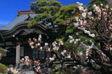 鎌倉本龍寺 白梅と本堂