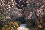 東慶寺 参道の梅並木