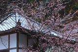 鎌倉称名寺 雪中梅