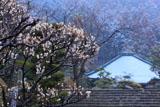 鎌倉大長寺 白梅と本堂