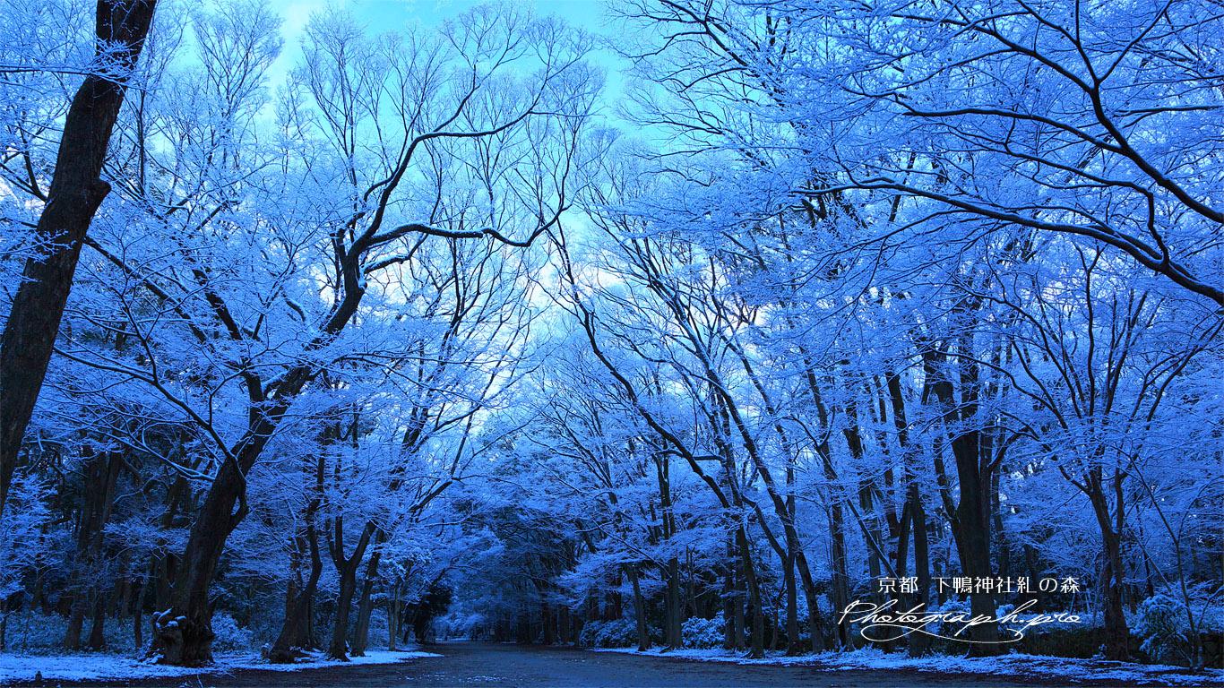 下鴨神社 糺ノ森の雪の花 の壁紙 1366x768