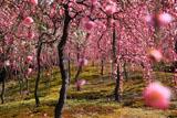 城南宮 梅林の枝垂れ梅