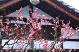 浄光明寺 紅梅と雪