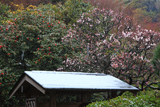 英勝寺 梅と椿と沫雪