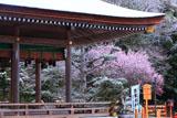 出雲大神宮 拝殿越しの雪中梅