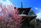 清凉寺 桃色梅と多宝塔