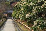 浄瑠璃寺参道のアセビ