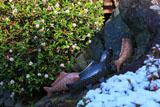 松尾大社 神使の庭のジンチョウゲ