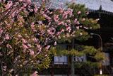 百万遍知恩寺 小雪舞う富士桜