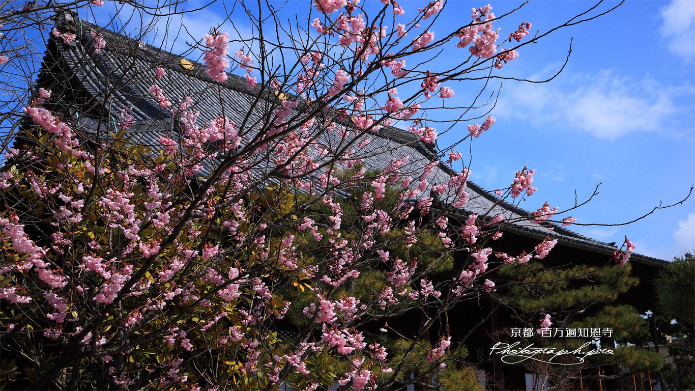 百万遍知恩寺 豆桜と御影堂 壁紙