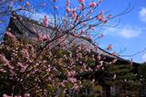 百万遍知恩寺 豆桜と御影堂