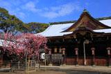 北野天満宮 右近の梅と拝殿