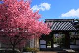 長徳寺 オカメ桜と山門