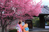 長徳寺 阿亀桜と花見美人