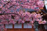 東寺の河津桜と大日堂