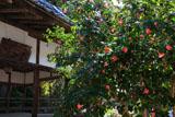 京都平岡八幡宮 ツバキと拝殿