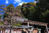 京都平岡八幡宮 梅と拝殿