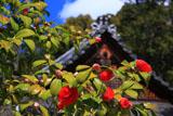 京都平岡八幡宮 ツバキと拝殿屋根