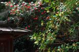 山崎聖天のシキミとツバキ