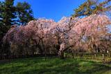 京都御苑 近衛邸の糸桜