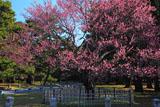 京都御苑の黒木の梅